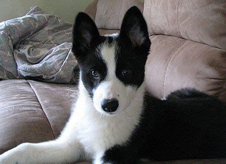 karelian puppies 43 best images about karelian spitz finland on the grass