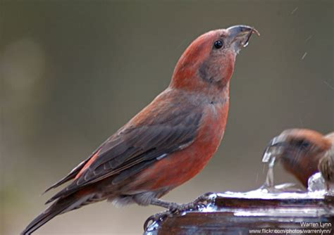 seven red birds for the holidays the national wildlife
