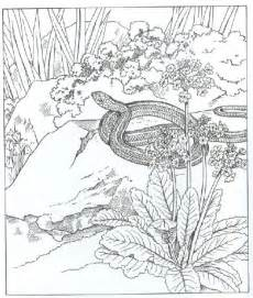 Garter Snake Coloring Page sketch template