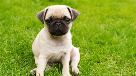 pug bladder infection symptoms 5 things you didnt about pugs