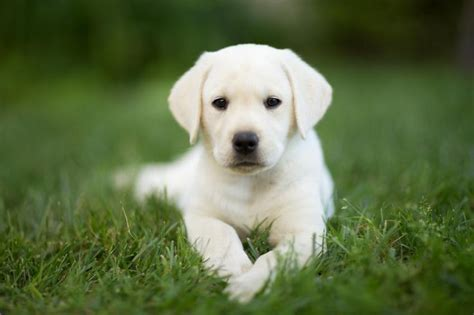 how to my labrador how much should my labrador puppy eat onehowto