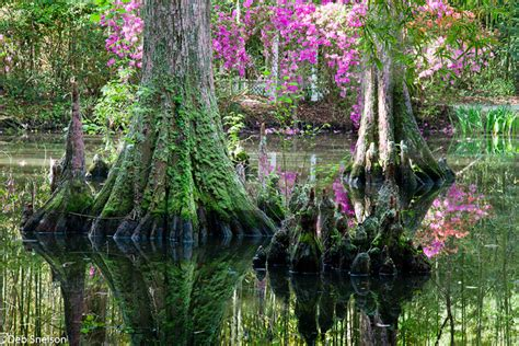 Magnolia Garden by Charleston South Carolina Deb Snelson Photography