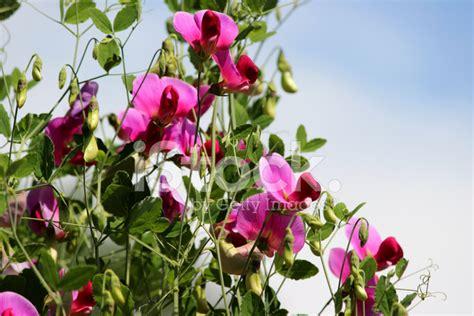 fiori di pisello immagine di fiori di pisello dolce rosa e viola nel