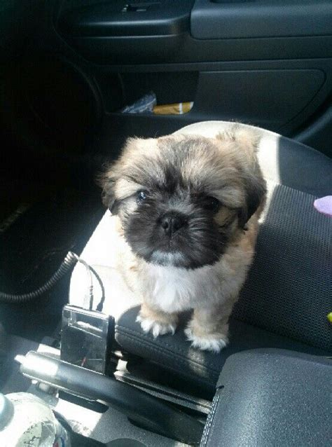yorkie poo pug mix 75 best images about shih tzu and mix on puppys baby and boys