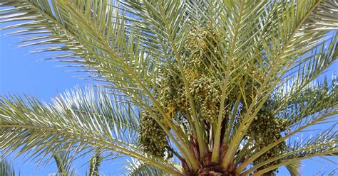 how to grow dates from edible tropicals how to grow date palms from seed