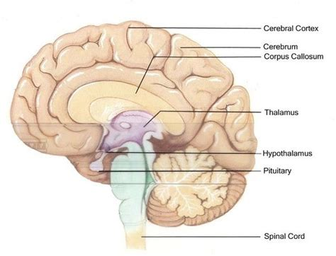 sections of the brain and what they control which parts of the brain control which human behaviours