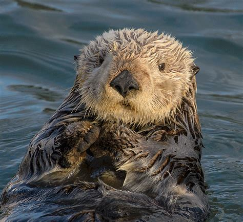 what is the difference between afro and milo kinky sea otter pup holding hands www pixshark com images