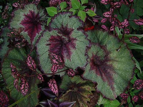 how to grow rex begonia houseplants