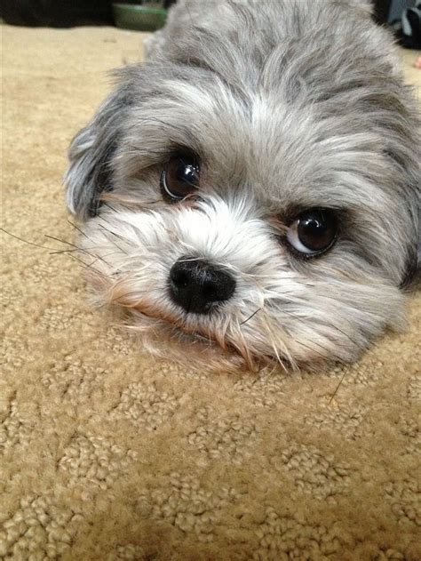 half shih tzu and half bichon frise teddy half shih tzu and half bichon frise description from i