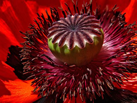 close  photography  red poppy flower  stock photo
