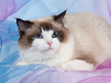 ragdoll cat price 5 cat breed folktales catster