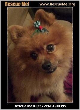 pomeranian rescue sc south carolina pomeranian rescue adoptions rescueme org