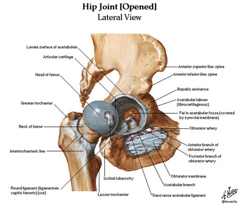 diagram of hip joint and lower limbs muscles skeleton knee joint hip