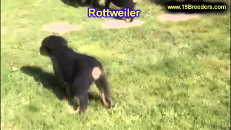 rottweiler for sale in indiana miniature rottweiler puppies for sale indiana photo