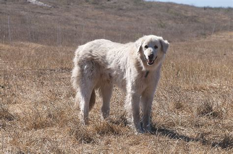 livestock guardian breeds breeds of livestock guardian dogs images
