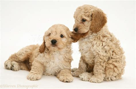 two puppies 48 cockapoo puppy pictures