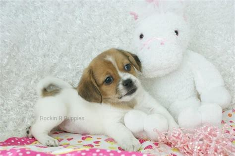 pats precious puppies pictures puppy puppy for sale breeds picture