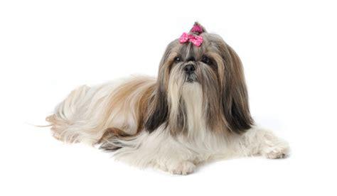 shih tzu temperamento shih tzu caracter 237 sticas da ra 231 a fotos temperamento web cachorros