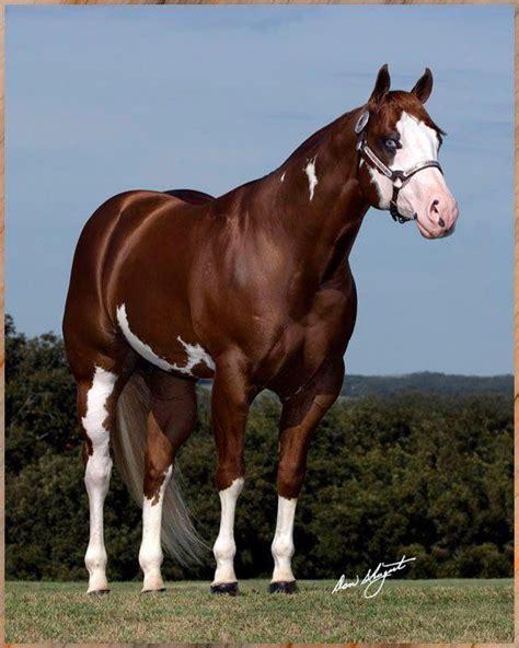 caballos cuarto de milla las 25 mejores ideas sobre cuarto de milla en y