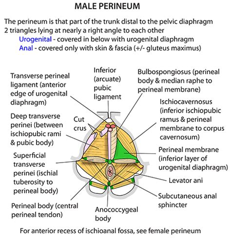 diagram of perineum instant anatomy abdomen areas organs perineum