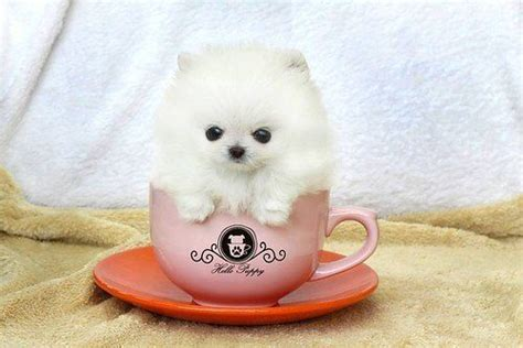 pomeranian cup tea 101 puppies see the cutest puppy in the world best list