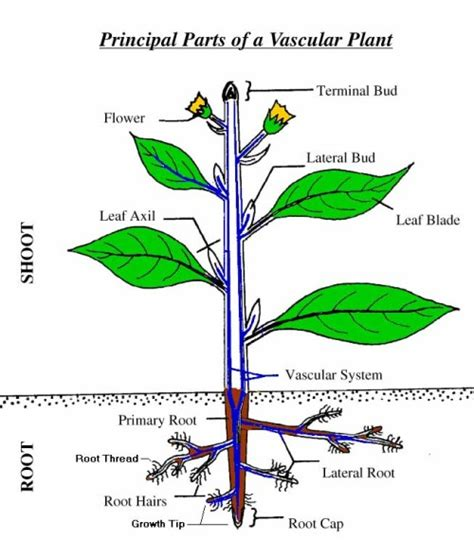 root structure diagram pin plant structure roots stems and leaves on