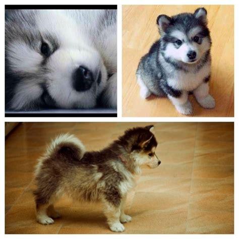 half husky and half pomeranian pomsky puppies half husky half pomeranian animals