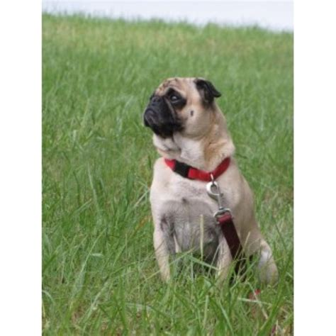 how much are pugs in canada pug studs freedoglistings