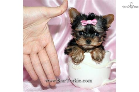 micro yorkie teacup micro tiny teacup yorkie puppies quotes
