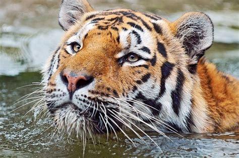 minicuentos de tigres y las mejores fotos de tigres haciendofotos com