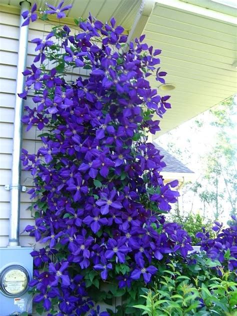 large flowered climbing plant best 25 clematis ideas on