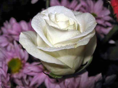 kumpulan gambar bunga mawar putih  cantik indahblog