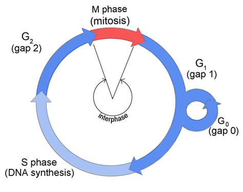 interphase g1 diagram sciences cyberbridge