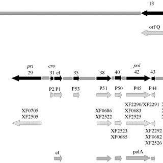 phage integration site plasmids pml   pml  contained  scientific diagram