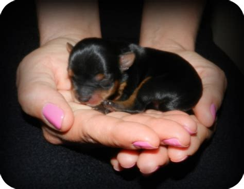 newborn puppies for adoption let s talk yorkie yorkie terrier yorkie puppies for sale yorkies