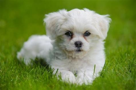 havanese puppy havanese on the grass photo and wallpaper beautiful havanese on the grass
