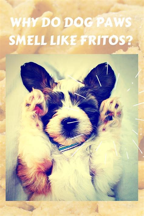 why do dogs smell like fritos why do paws smell like fritos