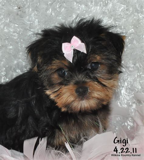 puppies for sale springfield mo yorkie breeders in missouri 28 images www yorkies missouri yorkie puppies for sale