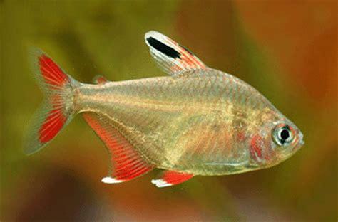 Makanan Ikan Hias Lemon ikan hias tropical fish 2015
