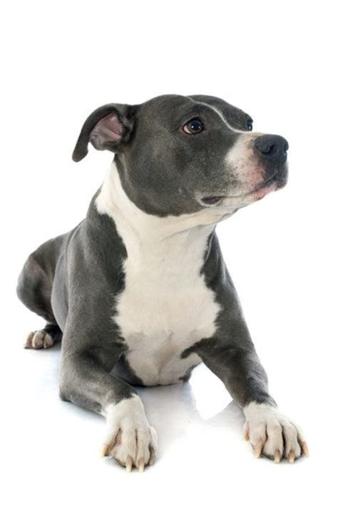 staffordshire terrier puppies what is the difference between american pitbull terriers american staffordshire