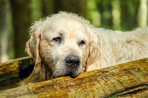 golden retriever liver cancer symptoms leukemia in dogs symptoms causes and treatment of leukemia