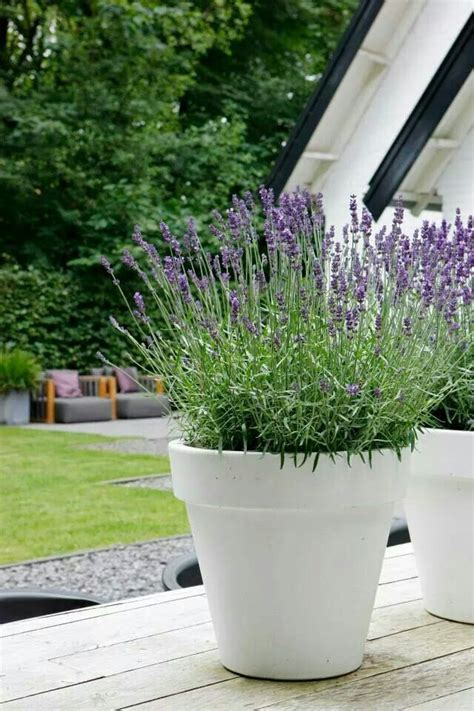 Large Garden Planters And Pots by Outdoor Tuin Lavender And Gardens