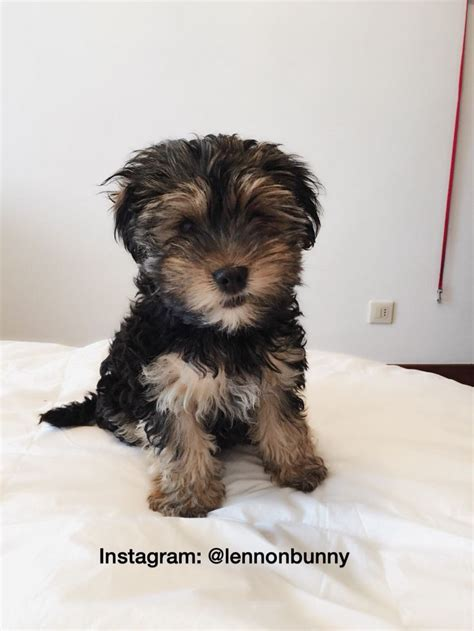 yorkie bichon mix puppies for sale in pa 25 best ideas about yorkie shih tzu mix on shih tzu maltese mix bichon