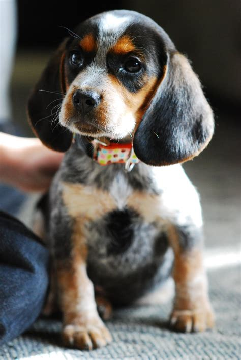 bluetick puppy blue tick beagles all you need to breeds picture