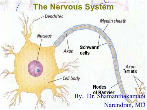 powerpoint templates free nervous system central nervous system ppt
