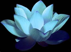 The Blue Lotus Flower Lotus Flowers Flower Hd Wallpapers Images Pictures