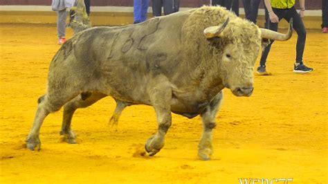 imagenes perronas de toros toro del milagro 2017 youtube