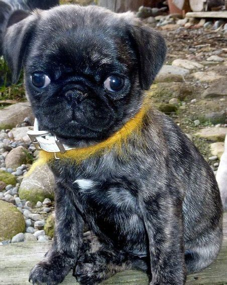 are brindle pugs brindle pug puppy pugs and dogs