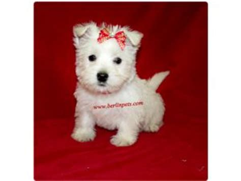 akc westie puppies for sale west highland white terrier puppies for sale akc westie puppies for sale