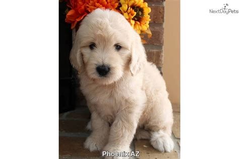 Scooter Goldendoodle Puppy For Sale Near Arizona